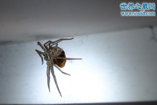 蟑螂的天敌,白额高脚蛛(无毒专吃小强)