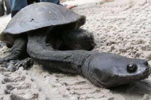 世界上脖子最长的乌龟,巨蛇颈龟(长达35厘米)