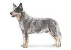 寿命最长的狗