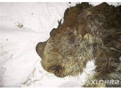 西伯利亚发现距今1万年长毛犀牛尸体
