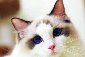 最受欢迎的宠物猫
