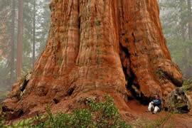 世界上最大的树,谢