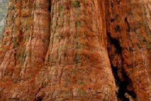 世界上最大的树,雪曼将军树身高达到110米左右。