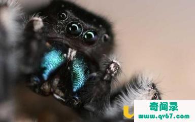 跳蛛的眼睛像微型