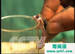 毒蛇吃的食物和涉及食性的因素